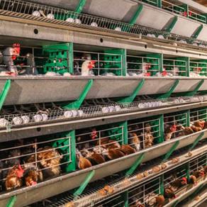 Investigación revela problemas sociales y ambientales tras los huevos utilizados por empresa Carozzi