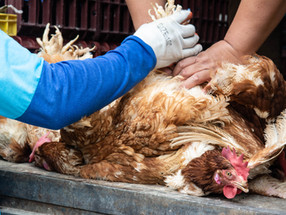 Sinergia Animal and PAE launch Ecuador's first investigation about the egg industry