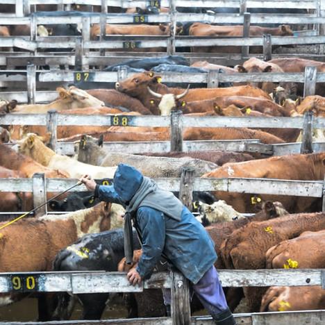 Argentinian cattle market