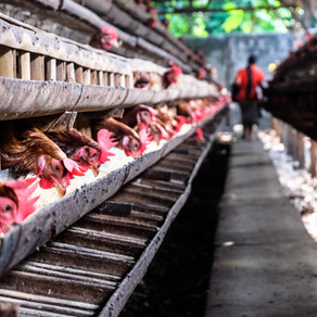 New investigation raises concerns about egg production and the risk of new epidemics