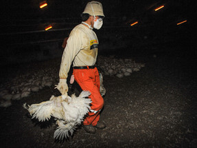 New UN report links increasing demand for animal products to future pandemics