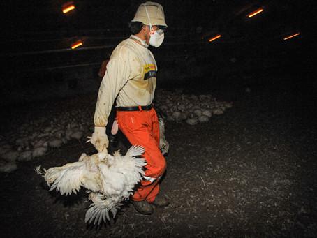 ONU: aumento da demanda por produtos animais pode colaborar para novas pandemias