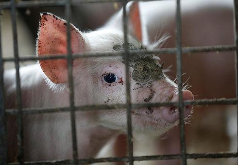 pigs-in-industrial-breeding-poland-035_2