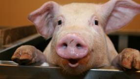 Burger King cambiará a huevo de gallina libre de jaula y carne de cerdo libre de jaulas de gestación