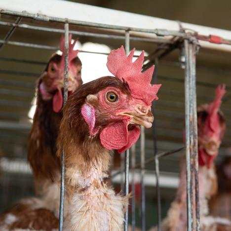 Ecuadorian Egg Farms
