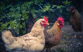 Hoteles Altiplánico se comprometen a dejar atrás el uso de huevos de gallinas enjauladas