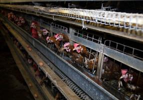 กรมปศุสัตว์ไทยกำลังวางมาตรฐานฉบับใหม่ ให้แม่ไก่ไม่ต้องอยู่ในกรงขัง