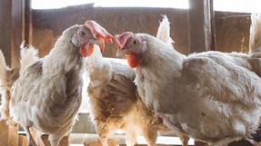 ไมเนอร์ ฟู้ดประกาศนโยบายเลิกสั่งซื้อไข่ไก่จากฟาร์มที่ใช้กรง ทั่วโลก