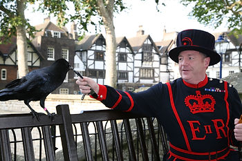 Beefeater Bill Callaghan with a Raven