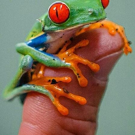 קוסטה ריקה צפרדע ציבעונית על אצבע.jpg