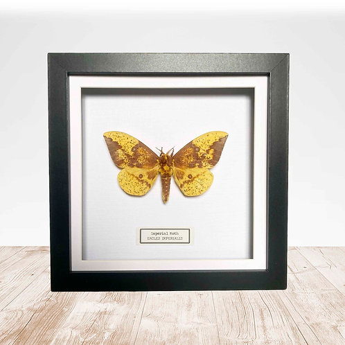 Imperial Moth (Eacles imperialis) Box Frame