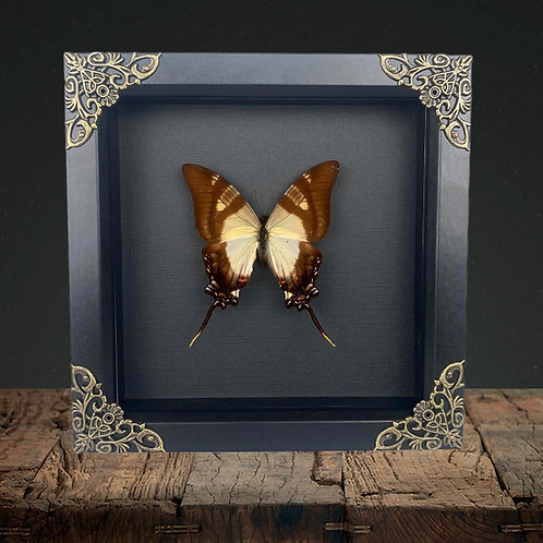 Serville Kite (Eurytides serville) Gothic Box Frame