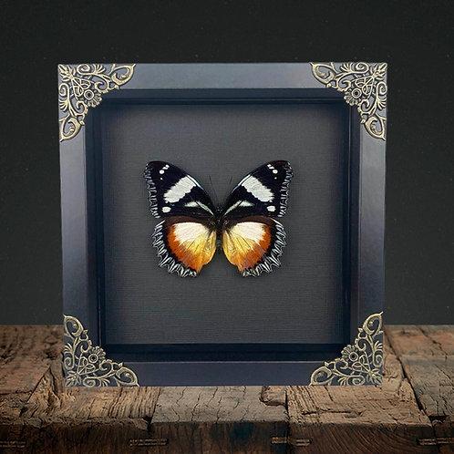 Madagascar Diadem (Hypolimnas dexithea) Gothic Box Frame