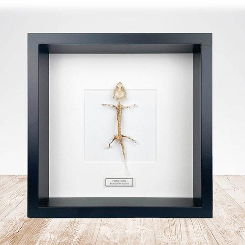 Real Framed Pictus Gecko Skeleton