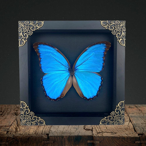 Giant Blue Morpho (Morpho didius) Gothic Box Frame