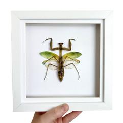 Mantis White Frame.JPG