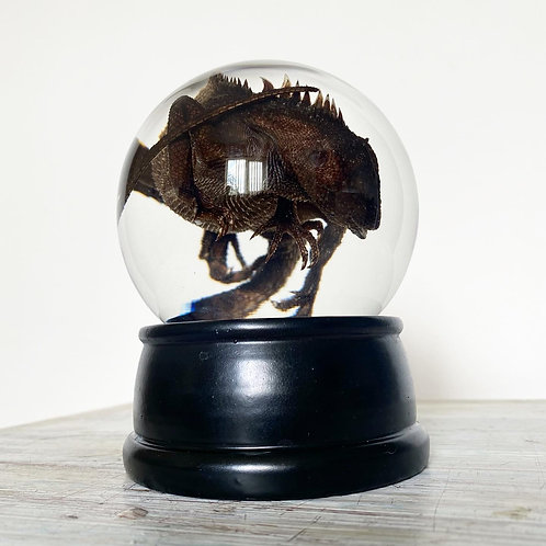 Young Chinese Water Dragon Globe Wet Specimen