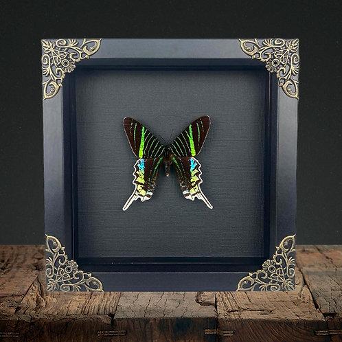 Urania Swallowtail (Urania leilus) Gothic Box Frame
