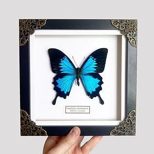 real butterflies