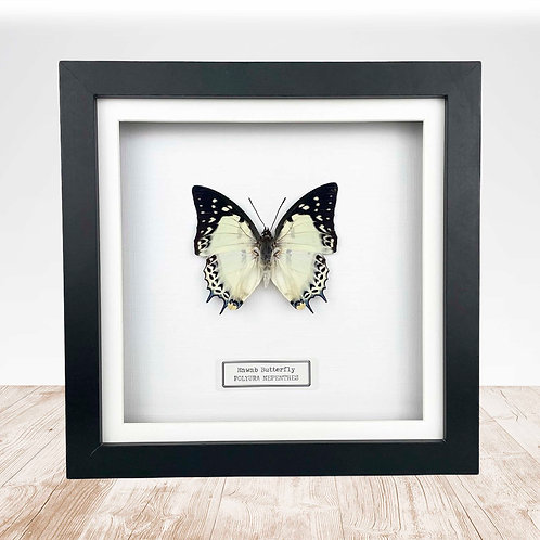 Nawab Butterfly (Polyura nepenthes) Box Frame