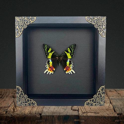 Sunset Moth (Chrysiridia rhipheus) Gothic Box Frame