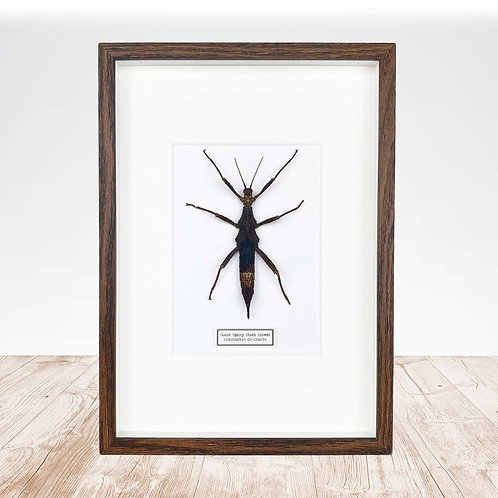 Female Giant Stick Insect (Eurycantha calcarata) Frame