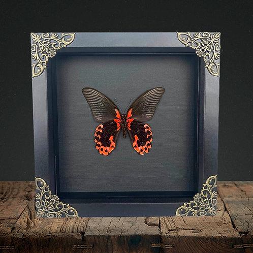 Scarlet Mormon (Papilio rumanzovia) Gothic Box Frame
