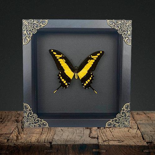 King Swallowtail (Papilio thoas) Gothic Box Frame