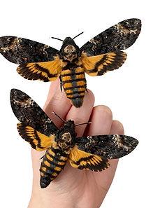 Deaths Head Hawk Moth.JPG