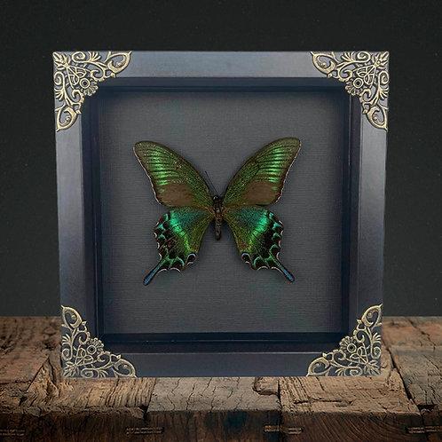 Alpine Black Swallowtail (Papilio maackii) Gothic Box Frame