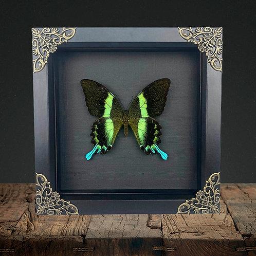 Green Swallowtail (Papilio blumei) Gothic Box Frame