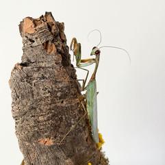Mantis Close Up.JPG