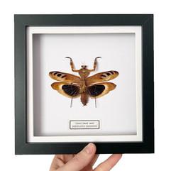 Giant Dead Leaf Mantis.JPG