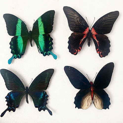Mounted Butterflies and Moths - Frame Yourself Collection