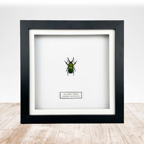 Saw Tooth Beetle (Lamprima adolphinae) Box Frame
