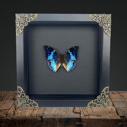 Western Blue (Charaxes smaragdalis) Gothic Box Frame