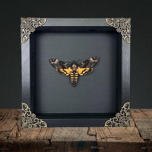 Deaths Head Hawk Moth (Acherontia atropos) Gothic Box Frame