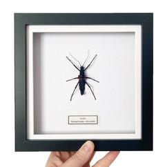 Stick Insect Black Frame.JPG