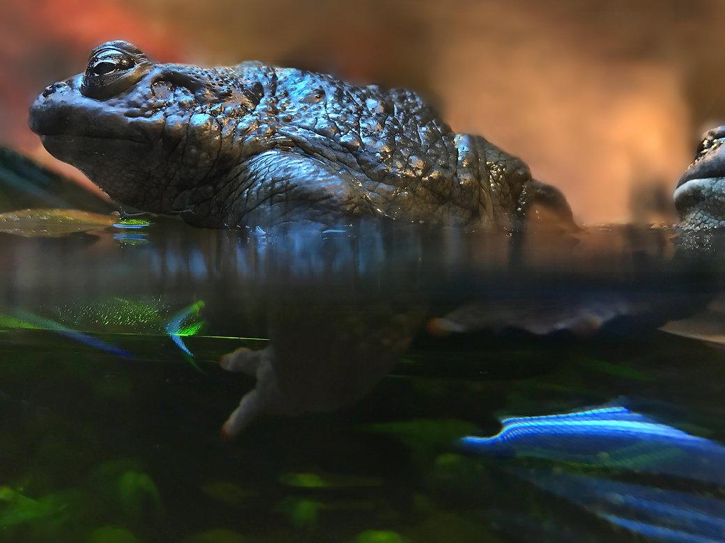 Bull frog Bill Crofton c .jpg