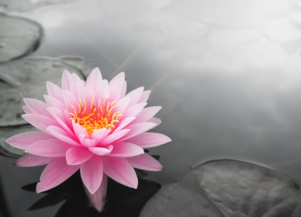 beautiful lotus flower.jpg