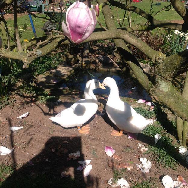 Ducks all grown up