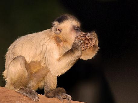Macaco Prego 4- FOTOHPJ - 800X600.jpg