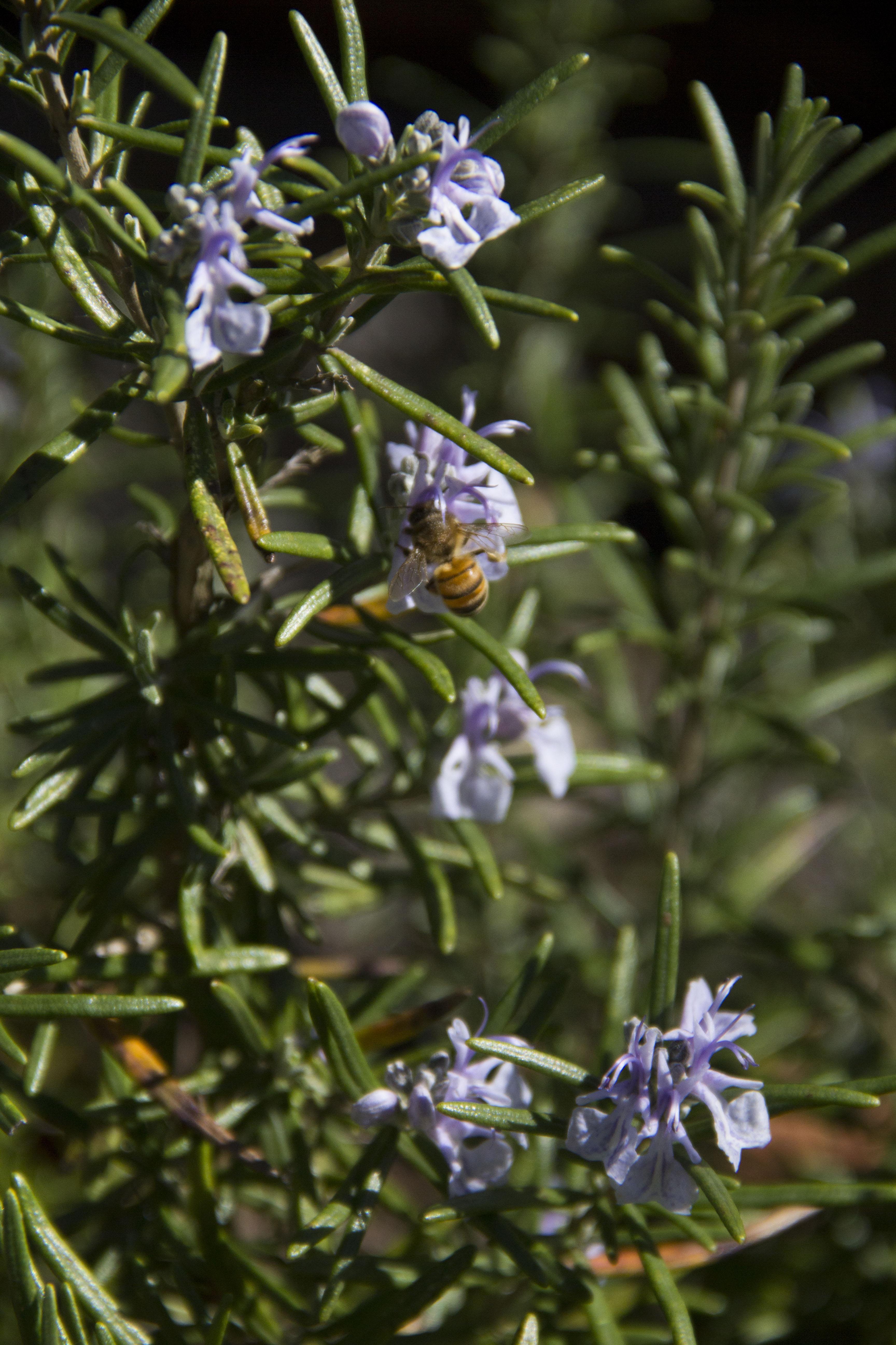 Pianta Simile Al Rosmarino giardino | ortointerattivo