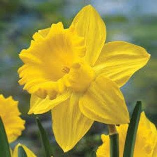 """Daffodils (7"""" pot)"""