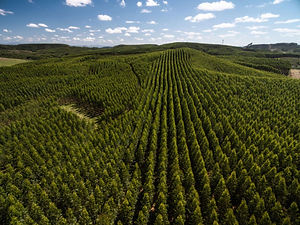 Eucalyptus-Forest_Sao-Paulo-Brazil_shutt