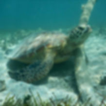 Close shot turtle Escapade