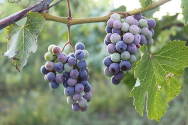 Our Grapes