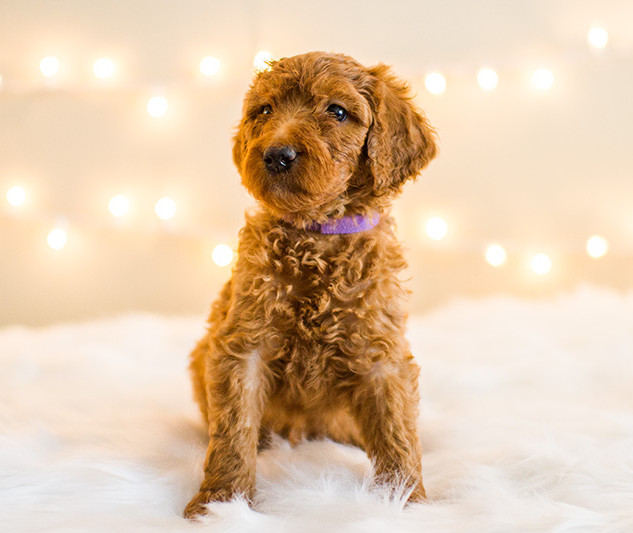 Golden Doodle Puppies in California