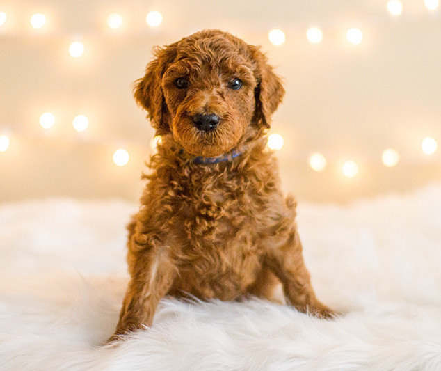 Doodle Puppies for Sale in California