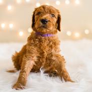 Golden Doodle Puppies